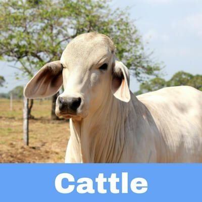 Antibiotics for Cattle