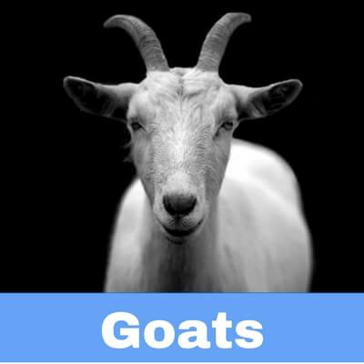 Antibiotics for Goats
