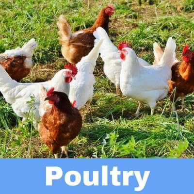 Antibiotics for poultry and birds