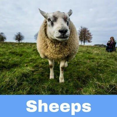 Antibiotics for Sheeps