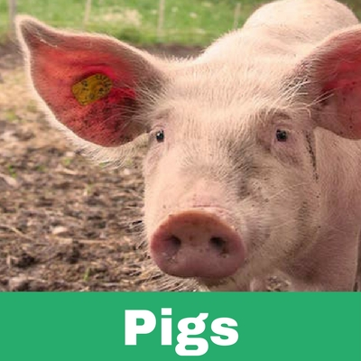 Restoratives drugs for Pigs