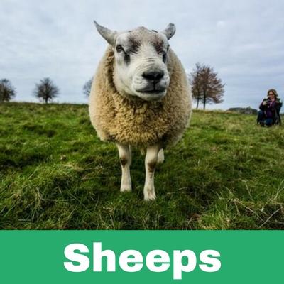 Restoratives drugs for Sheeps